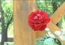 Rózsaligetté vált a Béke park Marcaliban – VIDEÓ