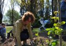 92 tő rózsával bővült a rózsalugas Marcaliban – VIDEÓ