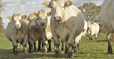 Lelőtték és feldarabolták egy lengyeltótiban gazdálkodó német teheneit