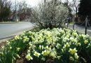 Virágrengeteg! Több ezer nárcisz ékesíti várost! – VIDEÓ