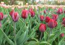 Több százezer tulipán Szőlősgyörökön – VIDEÓ